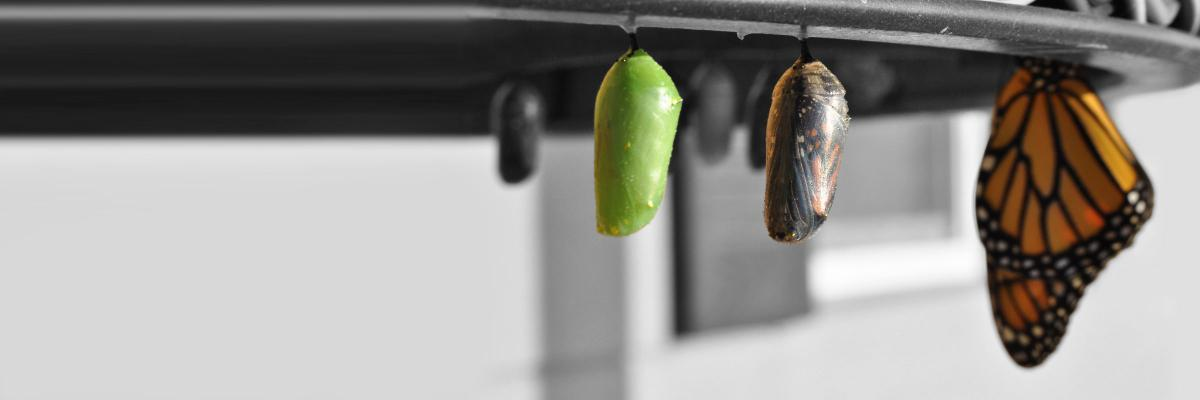Pupa stages of a butterfly