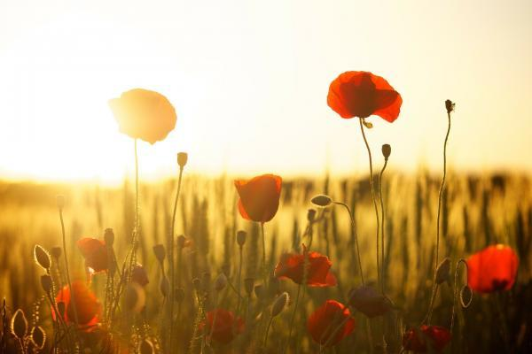 Image of red poppies in the sunlight by Dani Géza from Pixabay